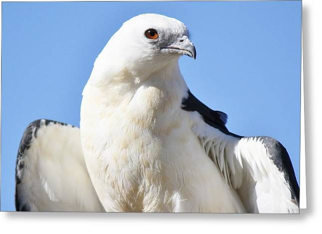 Swallow-tailed Kite Greeting Card by Paulette Thomas