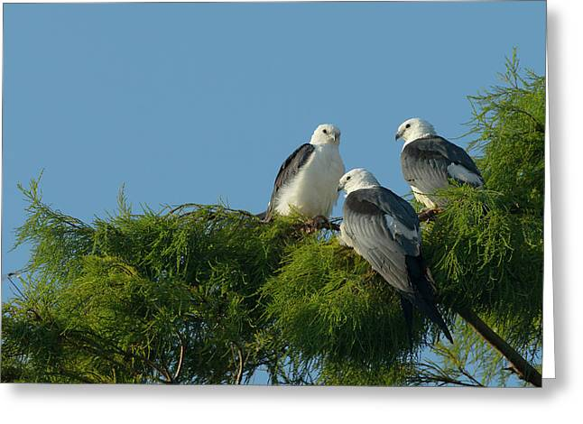 Swallow-tailed Kites Roosting Greeting Card by Maresa Pryor