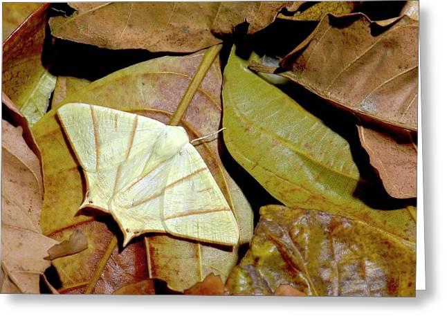 Swallow-tailed Moth Greeting Card by K Jayaram