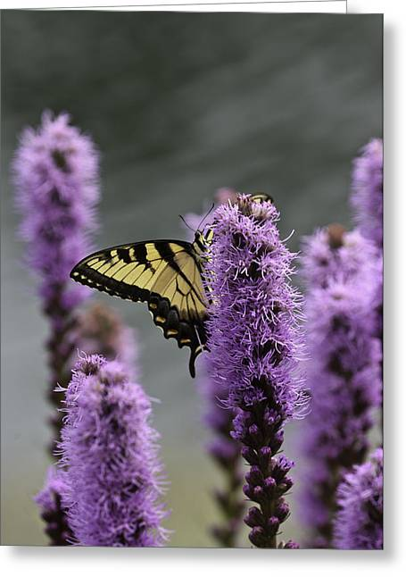 Swallowtail 0003 Greeting Card