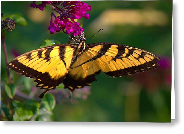 Swallowtail 1 Greeting Card