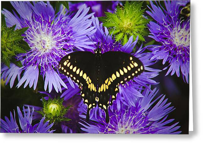 Swallowtail And Astor Greeting Card