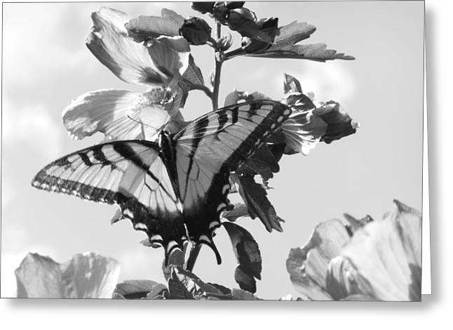 Swallowtail And Rose Of Sharon Bw Greeting Card by Diannah Lynch