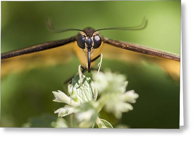 Swallowtail Butterfly Greeting Card by Adam Romanowicz