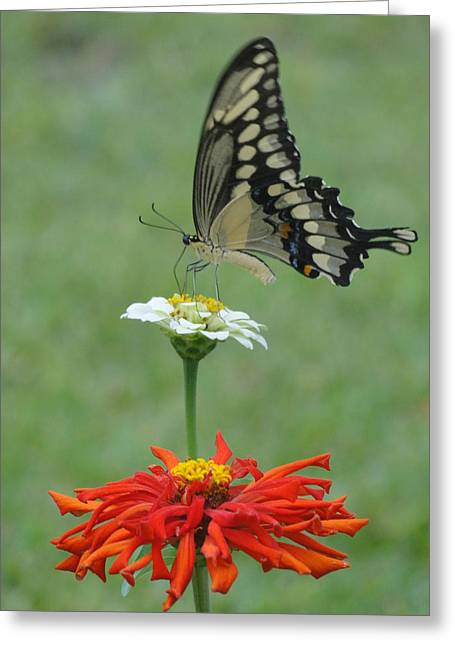 Swallowtail Butterfly And Zinnias Greeting Card by Cindy Croal