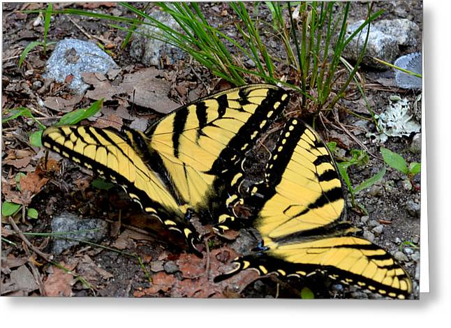 Swallowtail Butterfly Couple Greeting Card by Eva Thomas