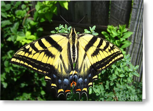 Swallowtail Butterfly Feeding Greeting Card