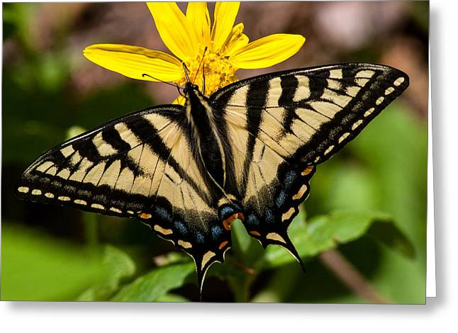 Swallowtail Butterfly Greeting Card by Jack Bell
