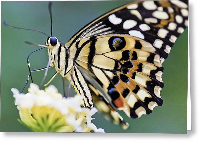Swallowtail Butterfly Greeting Card by Maj Seda