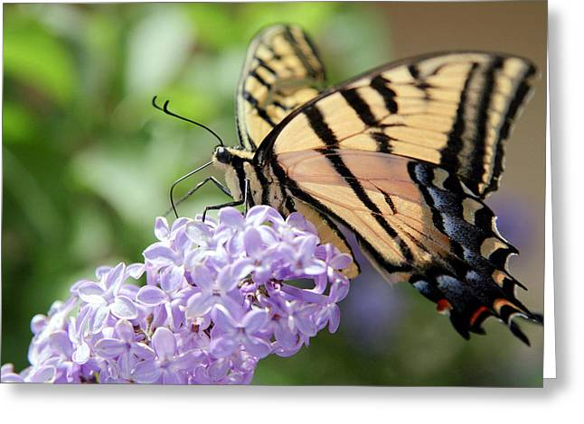 Swallowtail Butterfly On Lilac Greeting Card