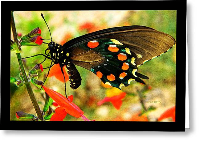 Swallowtail  Greeting Card by Chris Berry