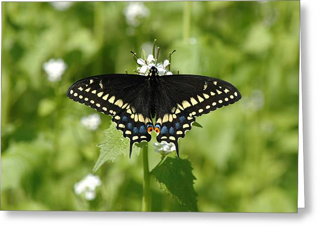 Greeting Card featuring the photograph Swallowtail by David Armstrong