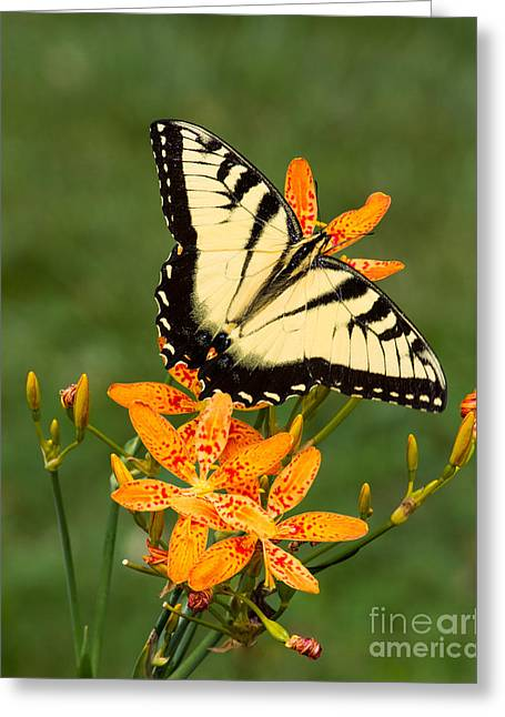 Swallowtail Delight Greeting Card