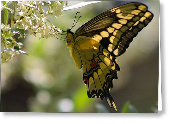 Swallowtail II Greeting Card