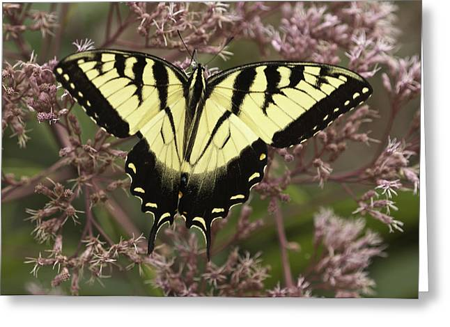 Swallowtail In Pink Greeting Card