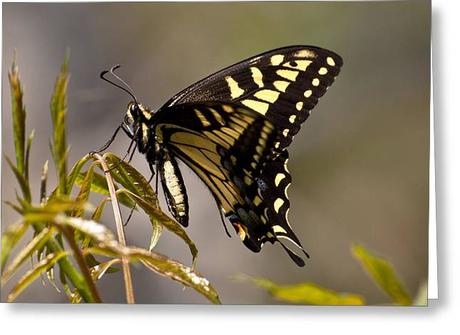 Swallowtail In Profile Greeting Card
