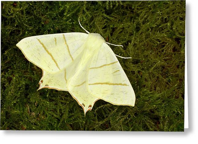 Swallowtail Moth Greeting Card by Nigel Downer