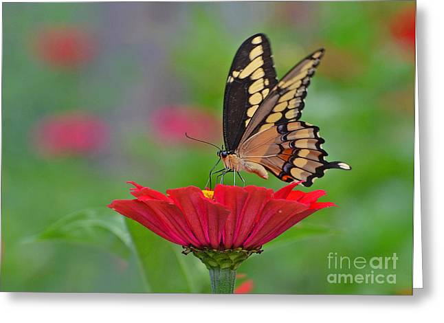 Swallowtail On A Zinnia Greeting Card