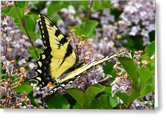 Swallowtail On Lilacs Greeting Card