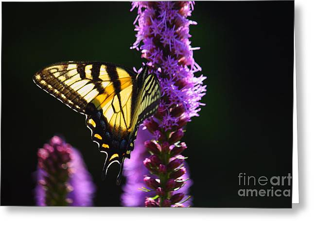 Swallowtail Tail Butterfly  Greeting Card
