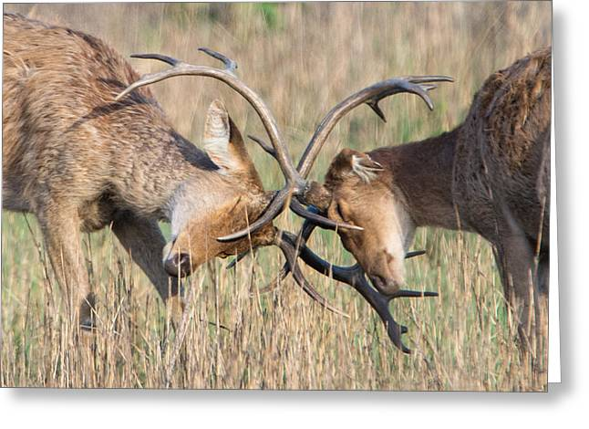 Swamp Deer Cervus Duvauceli Fighting Greeting Card by Panoramic Images