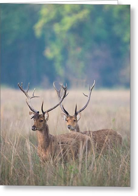 Swamp Deer Cervus Duvauceli, Kanha Greeting Card