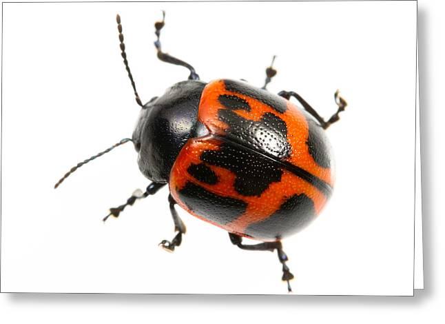 Swamp Milkweed Beetle Greeting Card by JP Lawrence