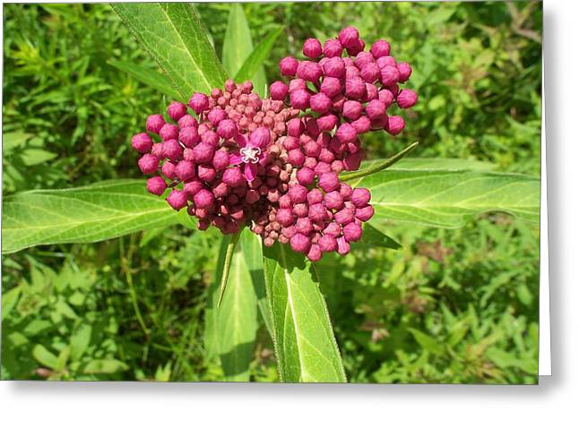 Swamp Milkweed Greeting Card
