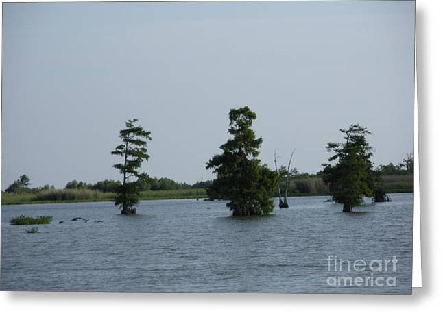 Greeting Card featuring the photograph Swamp Tall Cypress Trees  by Joseph Baril