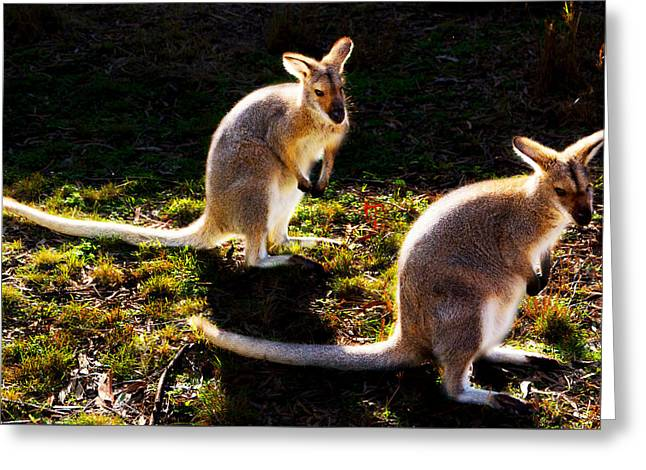 Red-necked Wallabies Greeting Card