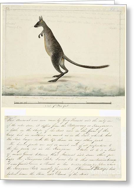 Swamp Wallaby, 18th Century Greeting Card by Natural History Museum, London