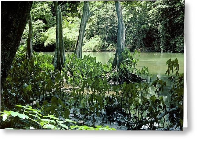 Swampy Inlet On East Coast Of Trinidad Greeting Card
