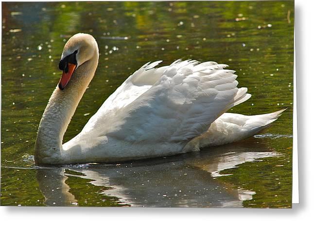 Swan 1 Greeting Card