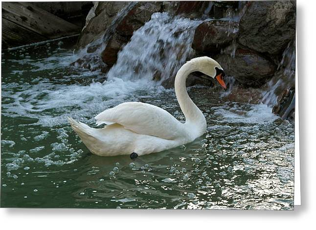 Swan A Swimming Greeting Card