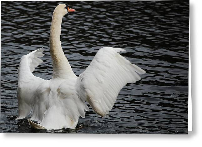 Swan Airing Out Wings 2 Greeting Card