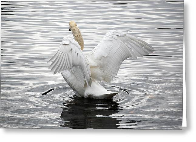 Swan Airing Out Wings 3 Greeting Card