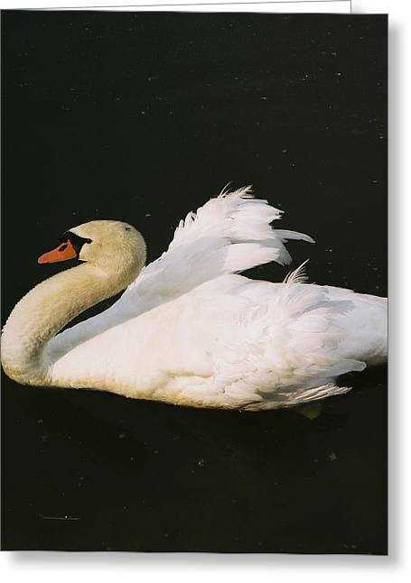 Swan At Rest Wil 115 Greeting Card