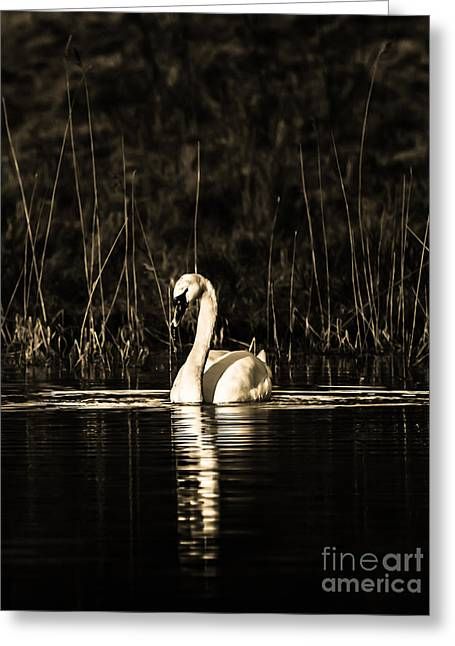 Greeting Card featuring the photograph Swan B/w by Rose-Maries Pictures