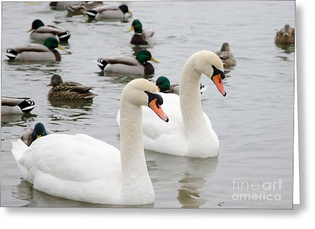 Swan Couple Greeting Card