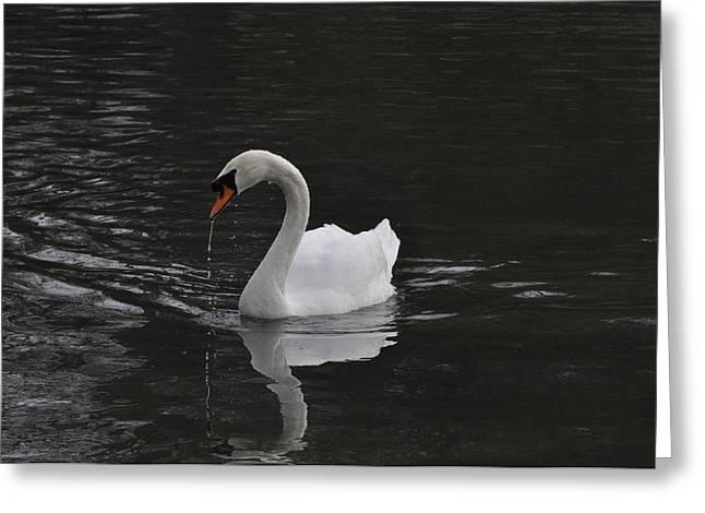 Swan Greeting Card by David King