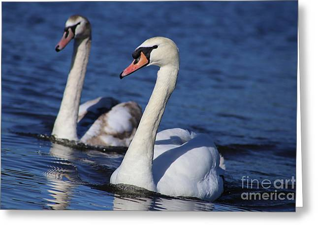 Swan Duo Greeting Card by Sue Harper