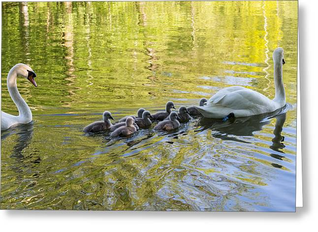 Swan Family Greeting Card by Michael Mogensen