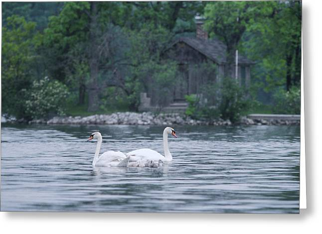 Swan Family Outing Greeting Card