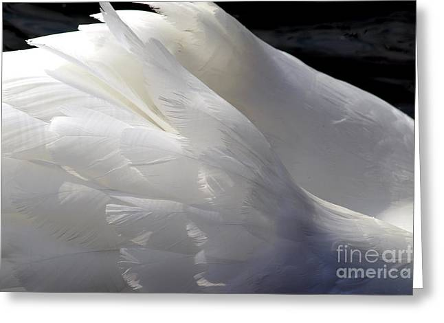 Swan Feathers Greeting Card