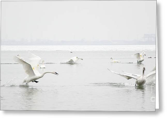 Swan Fight Greeting Card