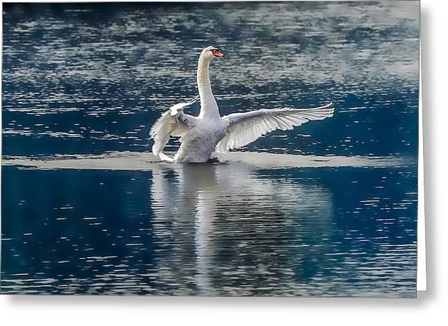 Swan Glory Greeting Card