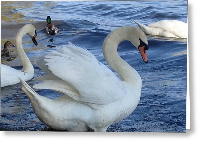 Swan Grace Greeting Card