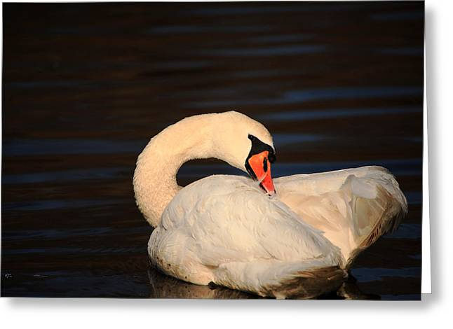 Swan Grooming Greeting Card