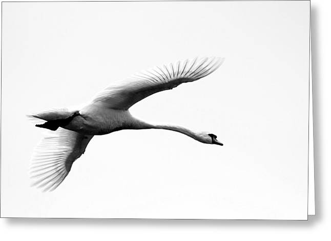 Swan In Flight Black And White Greeting Card by Diane Rada