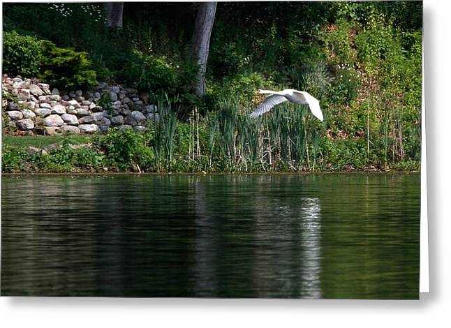 Greeting Card featuring the photograph Swan In Flight by Eleanor Abramson